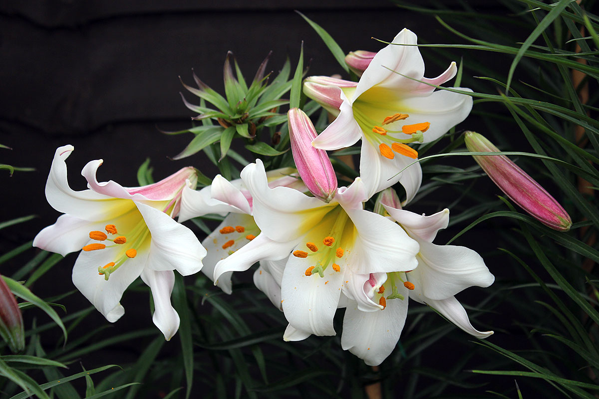 Graphicality uk my lilies lilium regale is my favourite lily of all i have and i started with just 3 bulbs i got as a present the rest of them are babies grown from seeds over izmirmasajfo