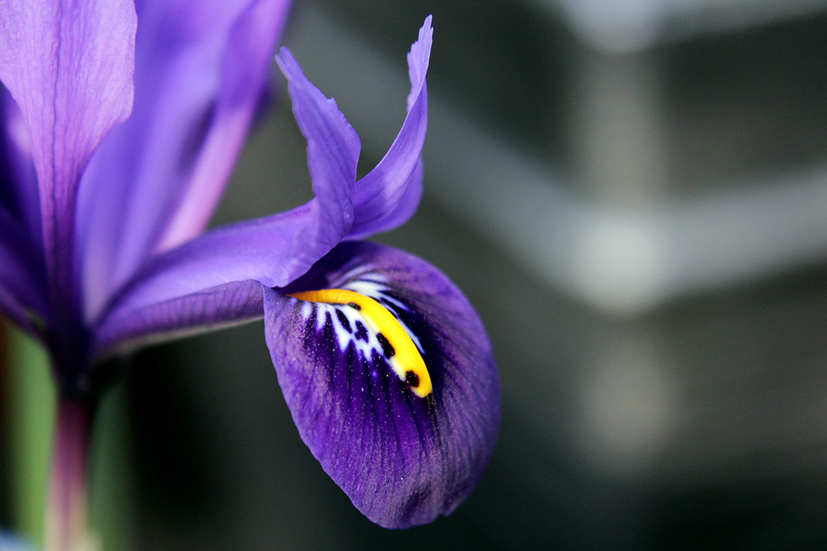 Graphicality uk its spring in london enough of them over the winter today its going to be spring flowers how about some iris reticulata pixie almost all of them are flowering now mightylinksfo