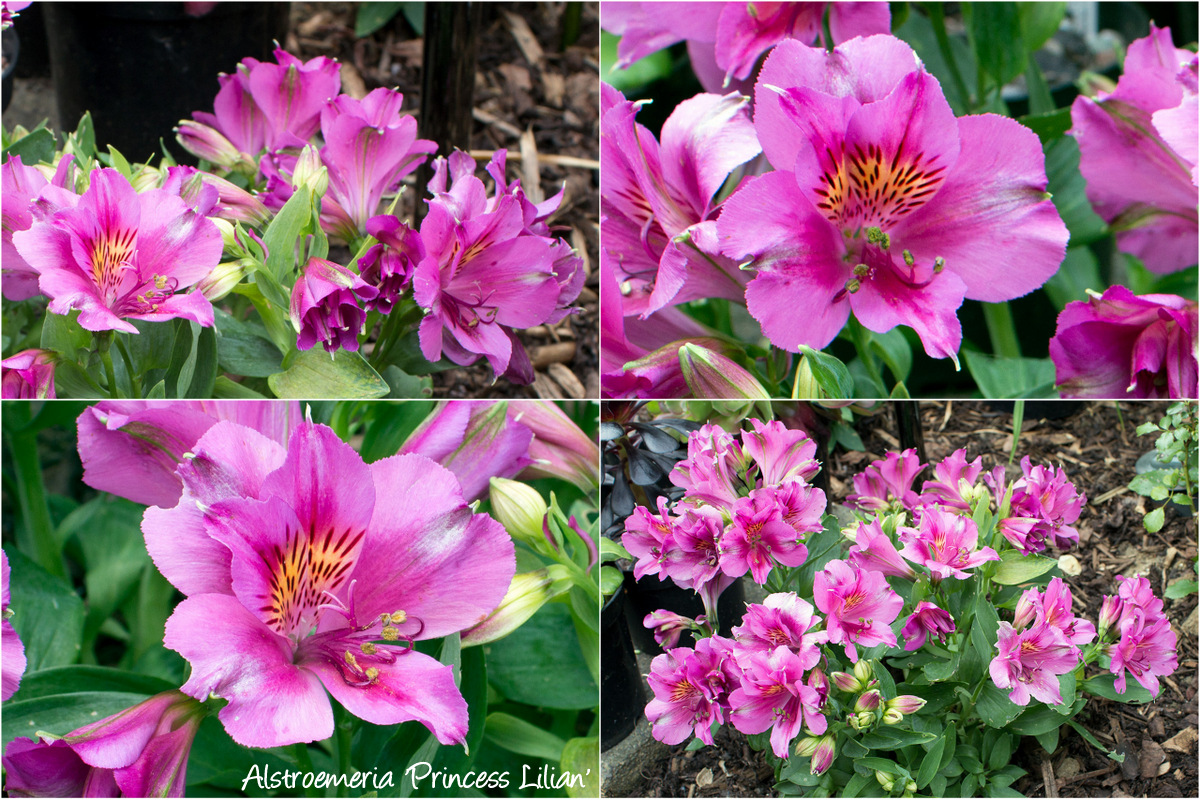 Godetia - a miracle flower without unnecessary trouble (photo, video)