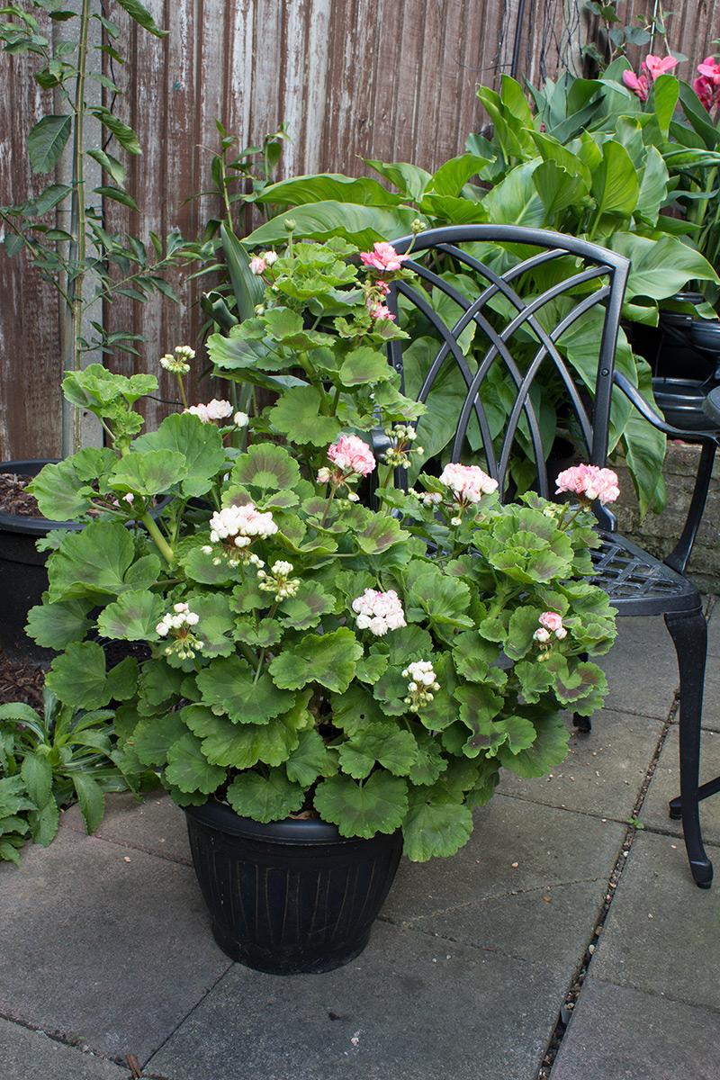 Graphicality UK No August Slump In My Garden GBBD